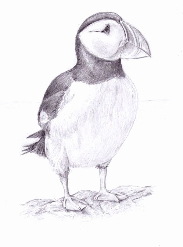 Black and White Drawings Best Of Puffin Drawing Google Search El S Puffins Pinterest