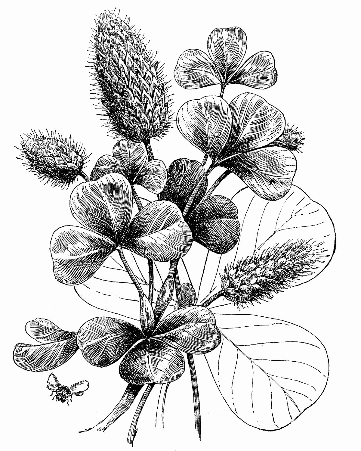 Black and White Flower Drawing Best Of Vintage Graphic Black and White Botanical Clover the Graphics Fairy