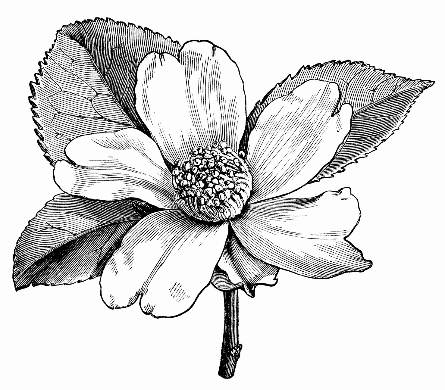 Black and White Flower Drawings Fresh Camellia Oleifera Flower – Free Vintage Clip Art Old Design Shop Blog