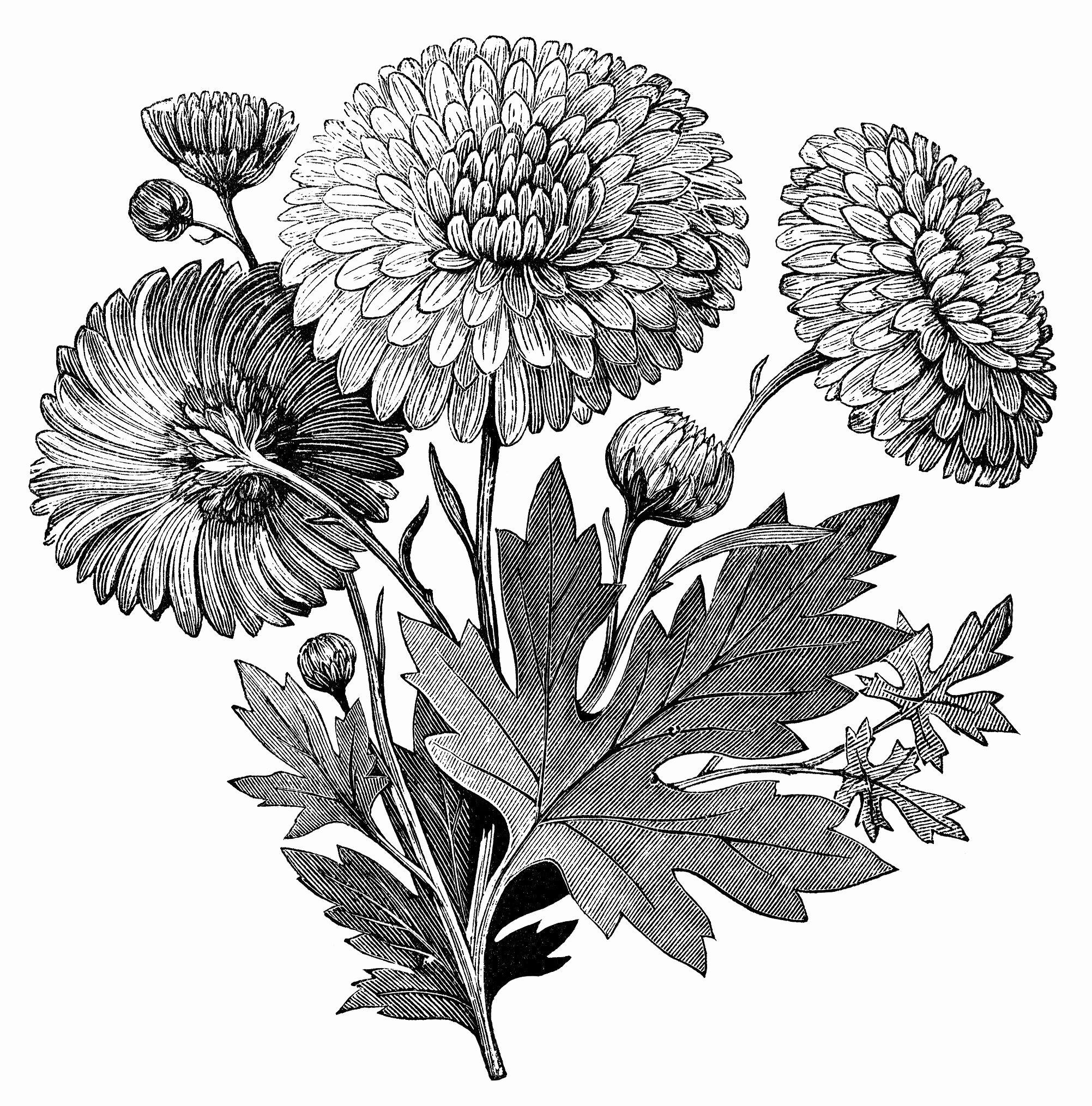 Black and White Flower Drawings Luxury Vintage Flower Clipart Early Flowering Chrysanthemum Chrysanthemum Illustration Black and