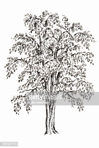 Black and White Illustration Lovely Black and White Illustration Ginkgo Biloba Living Fossil Tree with Fanshaped Leaves Stock