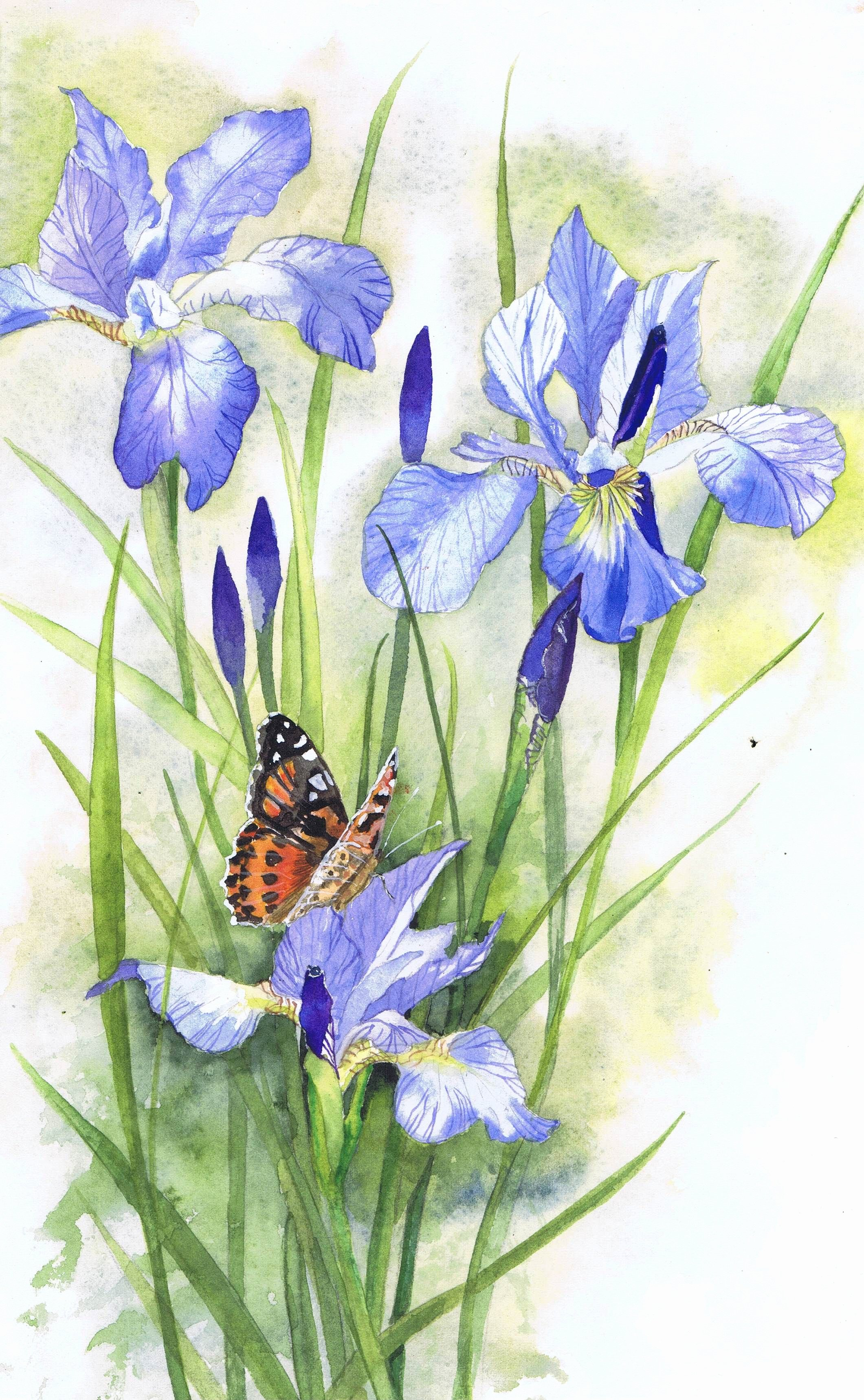Butterfly and Flower Paintings Best Of Painted Lady butterfly On Irises Watercolour Painting by Julie Horner Art Irysy