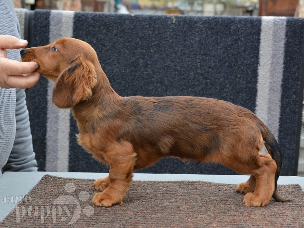 Dog Bill Of Sale New Bill Dachshund Puppy for Sale
