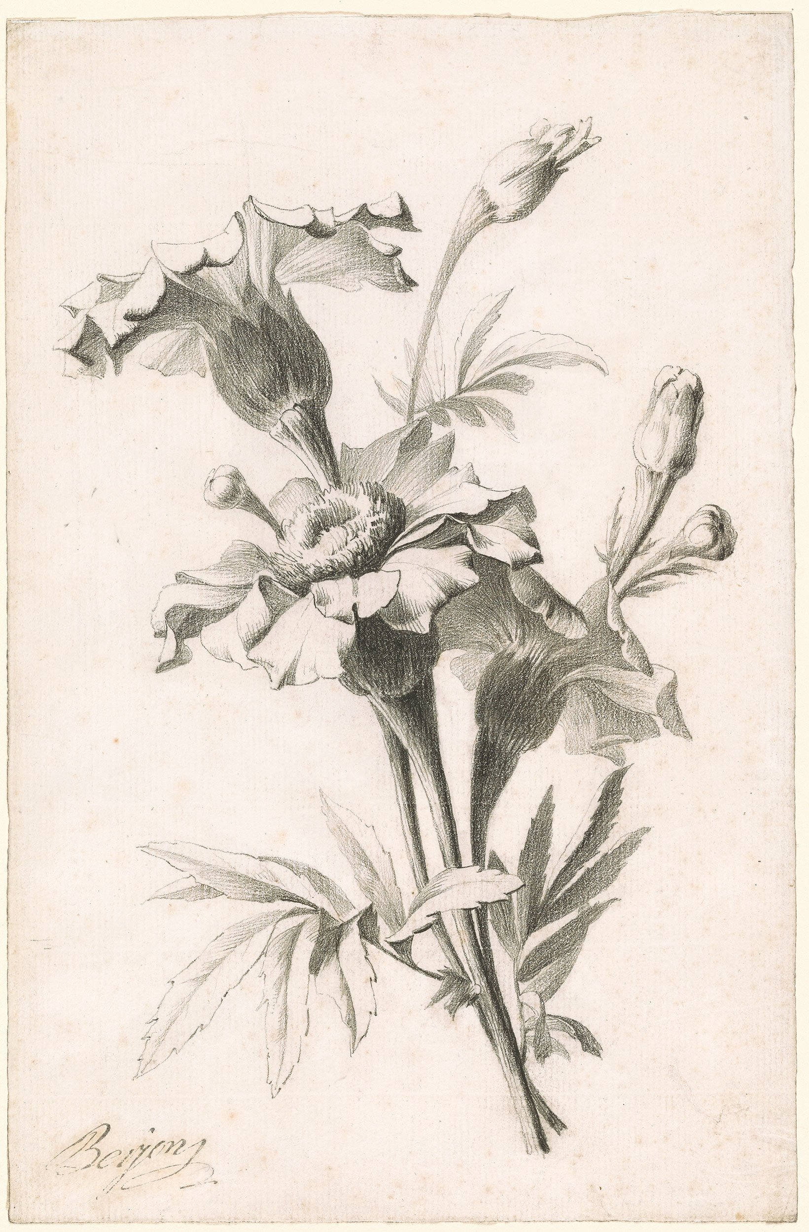 Drawings Of A Flower Best Of Antoine Berjon Study Of A Flower Drawings Line