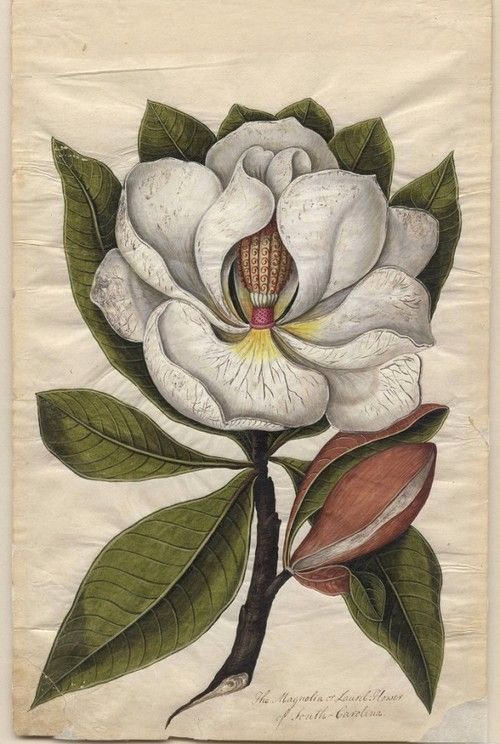 Drawings Of A Flower Best Of Beautiful Botanical My Morgue Pinterest