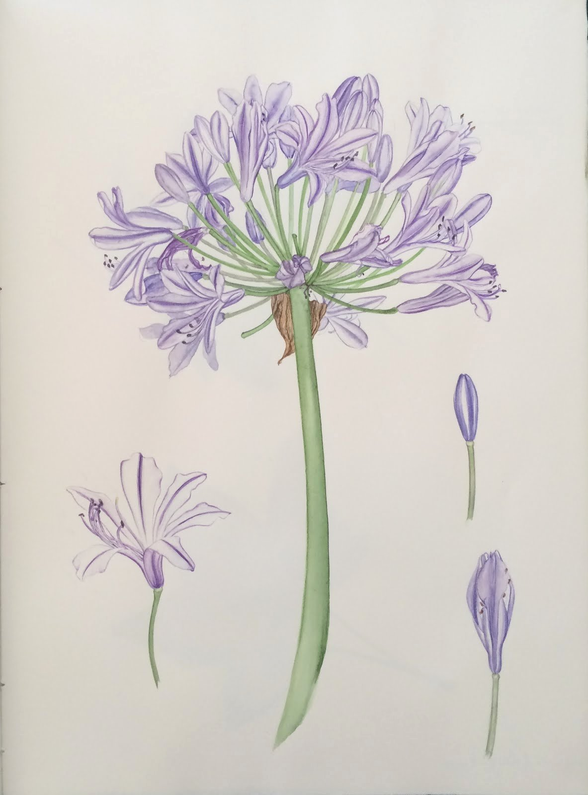 Drawings Of A Flower Fresh Jane Blundell Artist Agapanthus