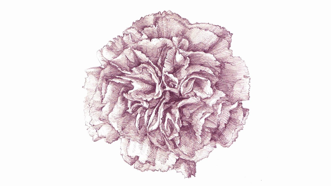 Drawings Of A Flower Lovely A Carnation Drawing Process
