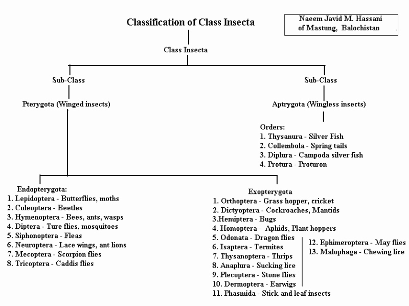 Flow Chart with Pictures Lovely Classification Of Class Insecta Insects